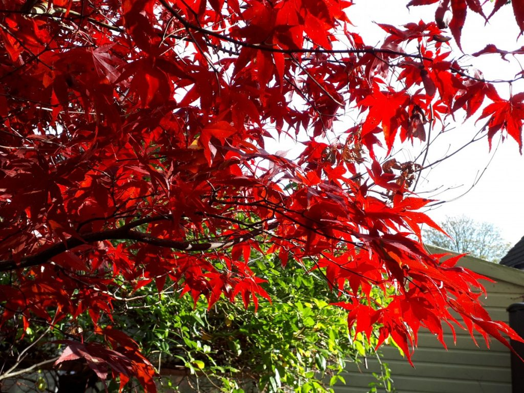 Coping with Lock down. Maple leaves at home.